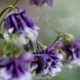 Dbl Purple Columbine
