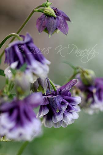 Dbl Purple Columbine