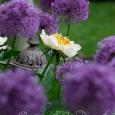 Allium & Peony
