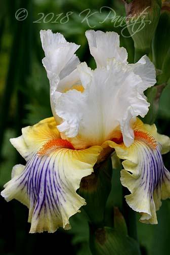 'Expose' Iris