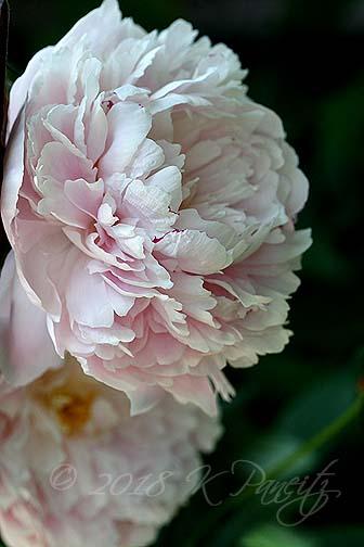 Peony 'Sarah Bernhardt1'