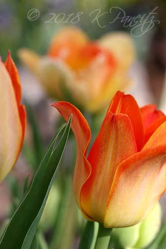 'Je t'Aime' Tulip6