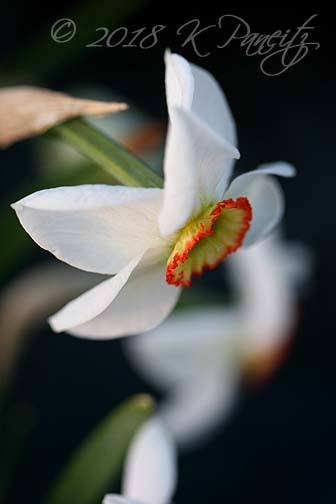Narcissus 'Dreamlight'