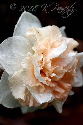 Narcissus 'Flower Surprise'