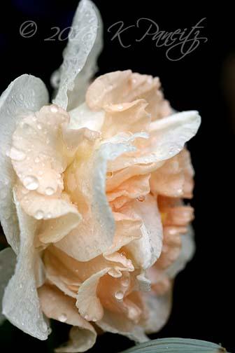 Narcissus 'Flower Surprise2'