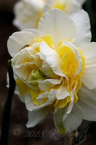 Narcissus 'Lingerie3'