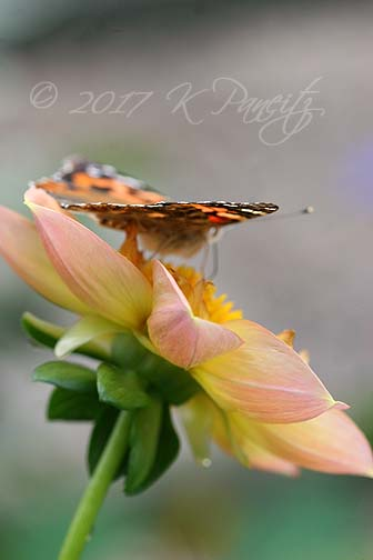 Painted Lady on Dahlia 'Eileen'