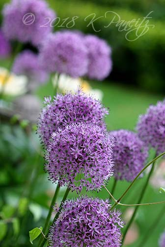 Allium blooms5