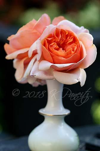 'Soul Sister' Rose