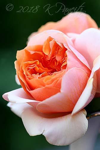 'Soul Sister' Rose2