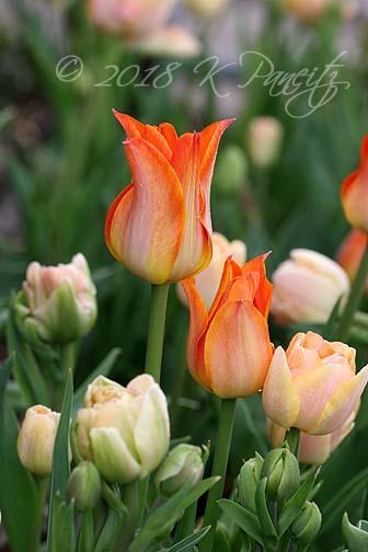 'Je t'Aime' Tulip1