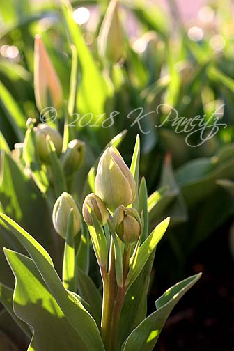 'Charming Beauty' Tulip buds