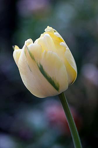 'Akebono' Tulip3