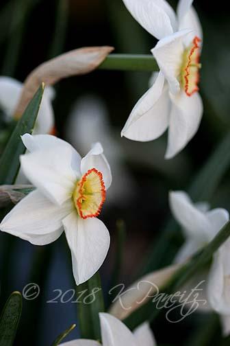 Narcissus 'Dreamlight1'