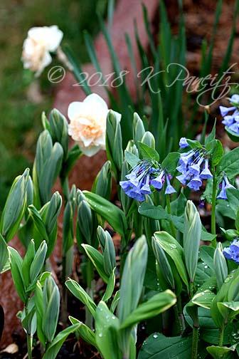 Narcissus 'Flower Surprise3'
