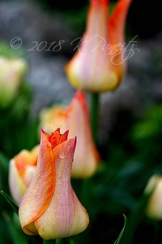 'Je t'Aime' Tulip13