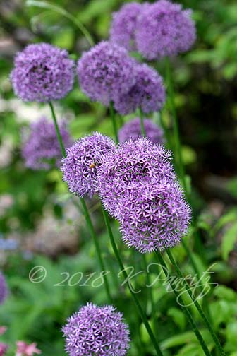 Allium blooms