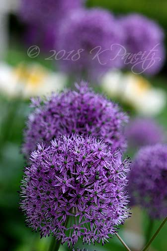 Allium blooms1