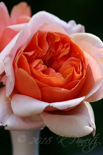'Soul Sister' Rose1