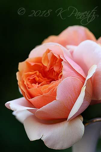 'Soul Sister' Rose3