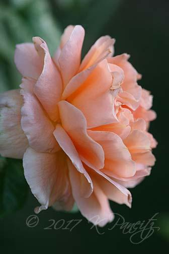 'Polka' Rose5