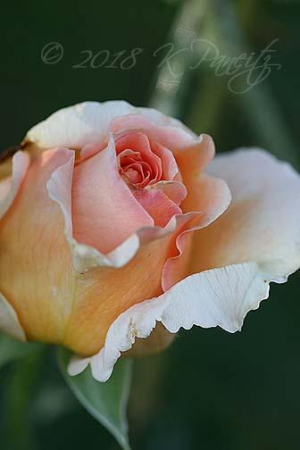 'Polka' Rose bud1