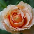 'Polka' Rose bud2