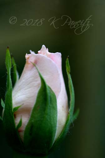 'Pearly Gates' Climbing Rose bud2