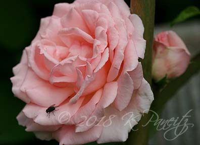 'Pearly Gates' Climbing Rose2