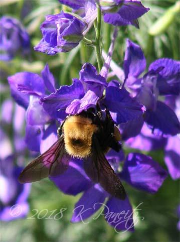Bumblebee on Larkspur