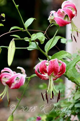 'Black Beauty' Lilies