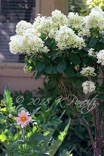 Dahlia 'Apple Blossom5'