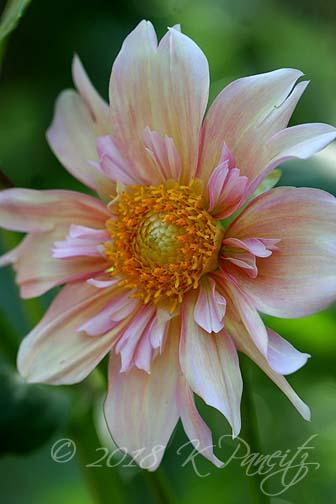Dahlia 'Apple Blossom4'