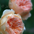 'Crown Princess Margareta' Roses
