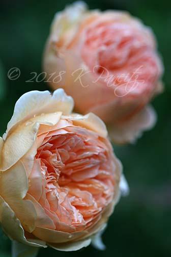 'Crown Princess Margareta' Roses