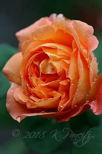 'Lady Emma Hamilton1' DA Rose