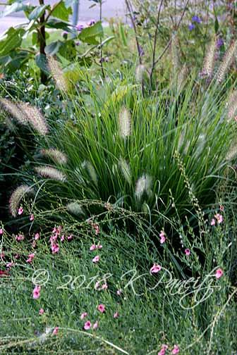 Dwarf Hameln Grass & Diascia