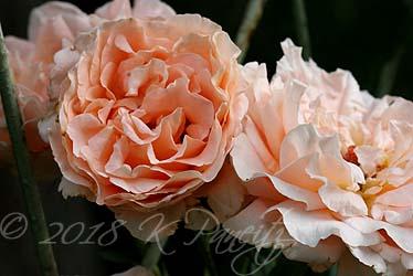 'Polka' Roses3