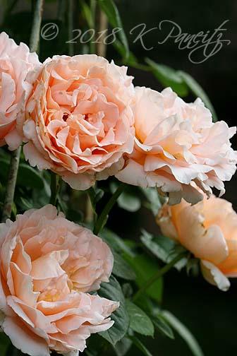 'Polka' Roses4