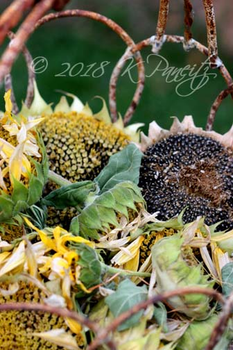 Sunflower heads1