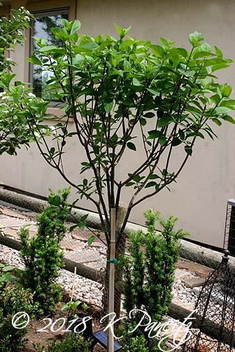 Hydrangea 'Limelight' Standard6