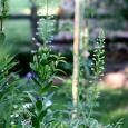 Delphinium buds