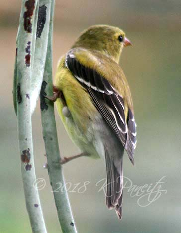 Goldfinch1