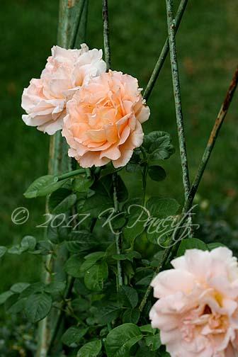 'Polka' Rose4