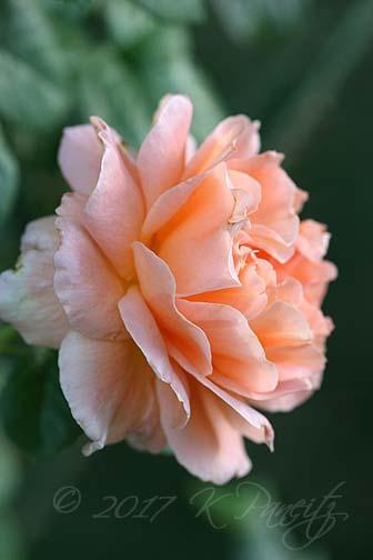 'Polka' Rose6