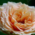 'Polka' Rose bud3