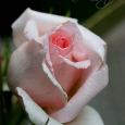 'Pearly Gates' Climbing Rose bud
