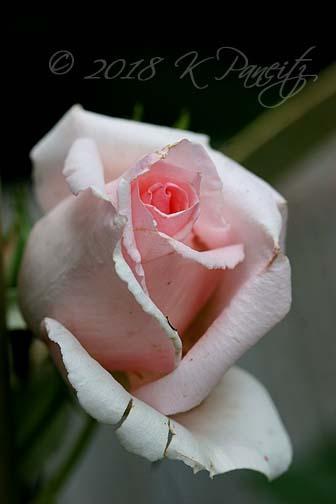 'Pearly Gates' Climbing Rose bud