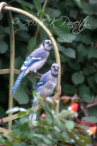 Baby blue jays1