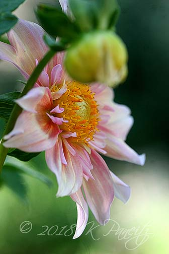 Dahlia 'Apple Blossom'
